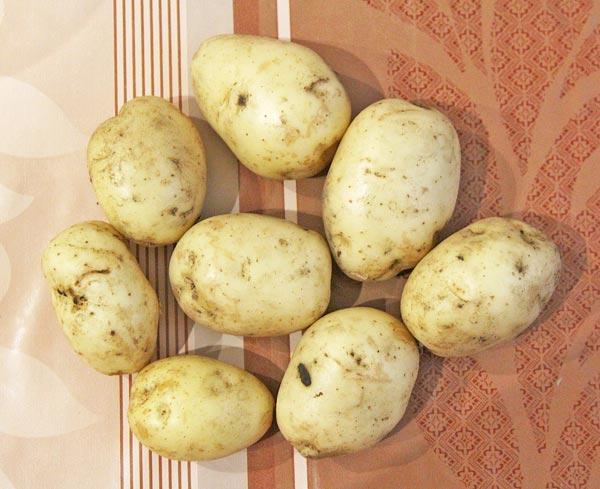Выбираем средние клубни молодого картофеля